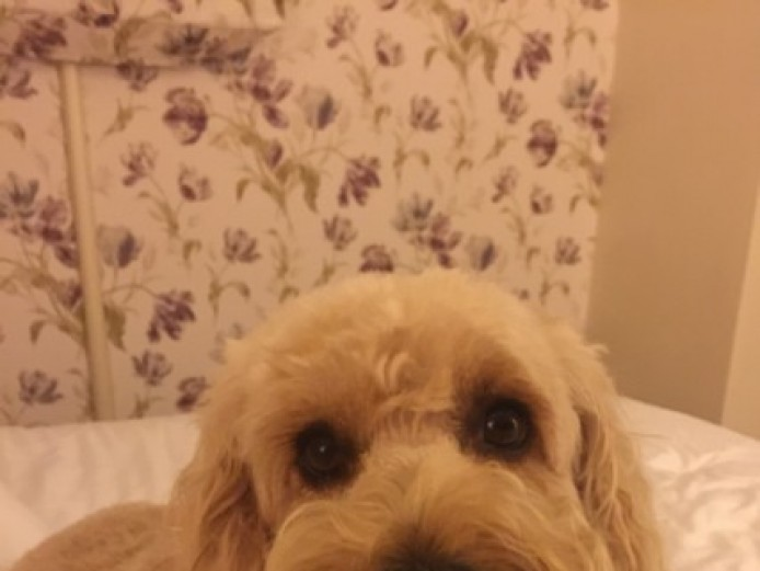 Beautiful Apricot F2 Cockapoo