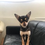 Proven Stud Chihuahua 1.8kg.3.9lb. Stud Only