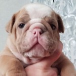 Outstanding British Bulldogs For Sale