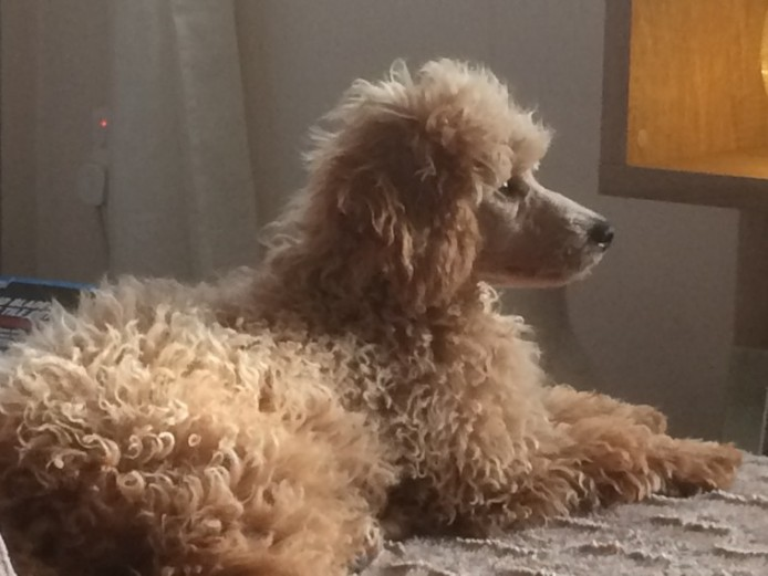 Proven Apricot Poodle For Stud .short Notice.
