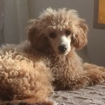 Proven Apricot Tall Toy Poodle For Stud