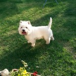 Beautiful Kc Westie For Stud Only