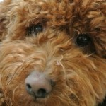 Dark Red Poodle Stud . 8 Clear Dna Health Tests