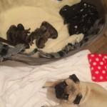 7 Beautiful Kc Pug Pups From Health Tested Parents