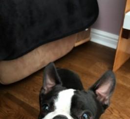 Boston Terrier Proven Stud