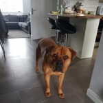 Male French Mastiff X Rottweiler
