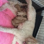Beautiful Red Kc Reg Standard Poodles 3 Boys Left
