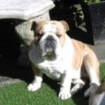 Proven English Bulldog Available For Stud.