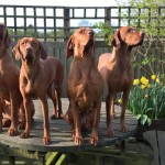 Kc Assured Breeder Hungarian Vizsla Pups