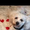 Pets  - Proven Bichon Stud