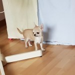 Tiny Smooth Coat Chihuahuas