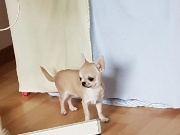 Tiny Smooth Coat Chihuahuas
