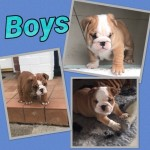 Traditional Red And White English Bulldog Puppies
