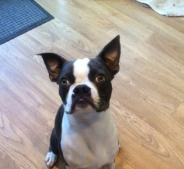 Proven Kc Reg. Blue Boston Terrier For Stud