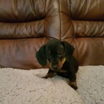 Home Reared Dachshund Smooth Coat Pupps For Sale