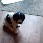 Well Bred English Springer Spaniel Pup