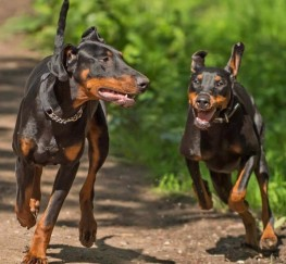 Pets  - Gorgeous Kc Registered Doberman