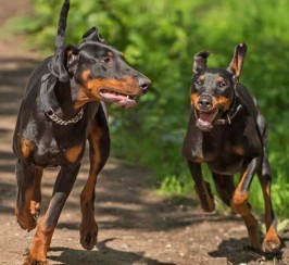 Gorgeous Kc Registered Doberman
