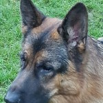 Stunning Health Tested German Shepherd At Stud