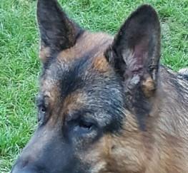 Pets  - Stunning Health Tested German Shepherd At Stud