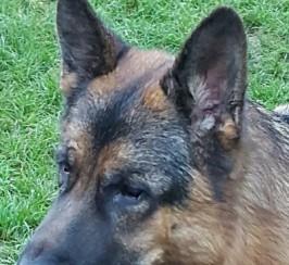 Stunning Health Tested German Shepherd At Stud