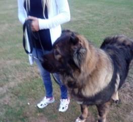 Pets  - Caucasian Ovcharka .