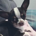 Chihuahua Boy For Stud.