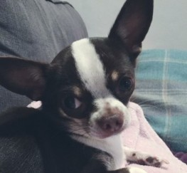 Pets  - Chihuahua Boy For Stud.