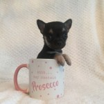 Kennel Club Registered Chihuahua Pups For Sale