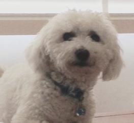 Pets  - Bichon Proven Stud