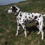 Triumphant Ted. Dalmatian Stud. Staffordshire