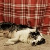 Pets  - Blue Merle Border Collie