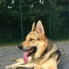 Pets  - Fantastic Big High Drive Gsd Now Available To Stud