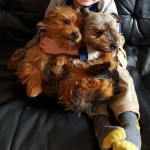 Last Male Yorkshire Terrier Puppy