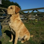 Handsome Working Labrador At Stud .kent.
