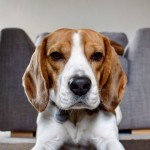 Male Beagle For Stud Kc Registered.