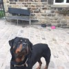 Pets  - Kc Reg Handsome Chunky Rottweiler Proven Stud