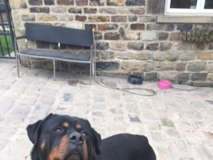 Kc Reg Handsome Chunky Rottweiler Proven Stud