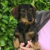 Pets  - Minature Wire Haired Dachshund Standing At Stud.