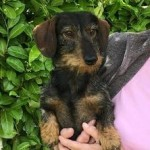 Minature Wire Haired Dachshund Standing At Stud.
