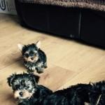Stunning Pedigree Toy Yorkshire Terrier  Pups