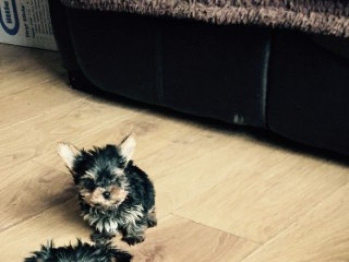 Stunning Pedigree Toy Yorkshire Terrier  Pups