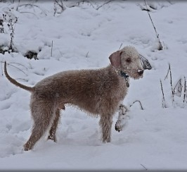 Bedlington Terrier Dog At Stud