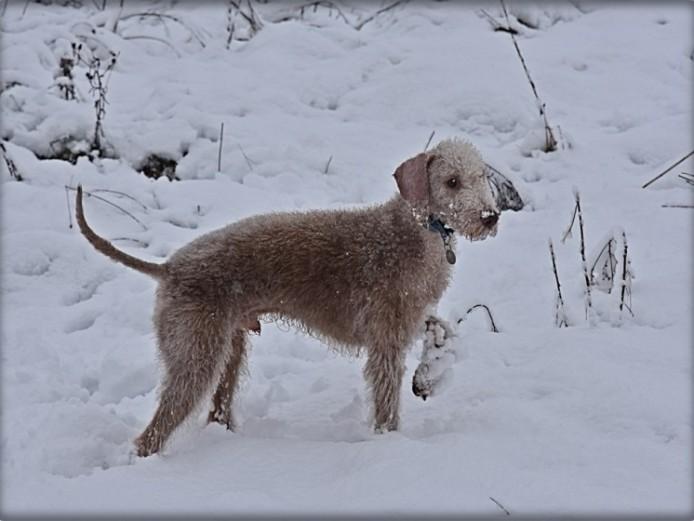 Bedlington Terrier Dog At Stud