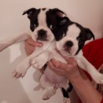 Boston Puppies For Sale Jhc Free