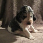Show Type Kc Reg Cocker Spaniels Sables Lemon