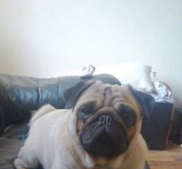 Pets  - Fully Kc Stunning Proven Pug For Stud Only