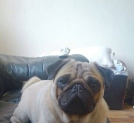 Fully Kc Stunning Proven Pug For Stud Only