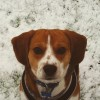 Pets  - Tri.coloured Beagle For Stud In Manchester