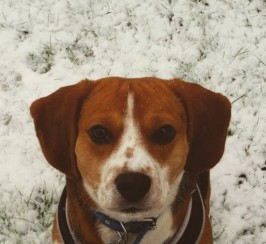 Tri.coloured Beagle For Stud In Manchester